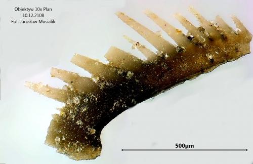 Element konodontowy - dewon - Kowala