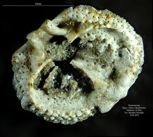 Mikroramienionóg - jura - Ogrodzieniec