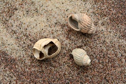 Kopalne okazy Nassarius reticulatus (Linnaeus, 1758) znalezione na Wyspie Sobieszewskiej.