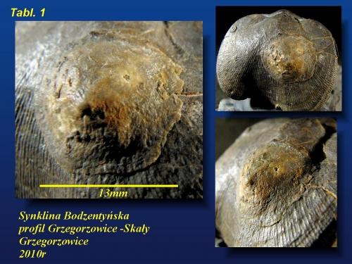 Acanthocrania sp. na Shizophoria- eifel wyższy