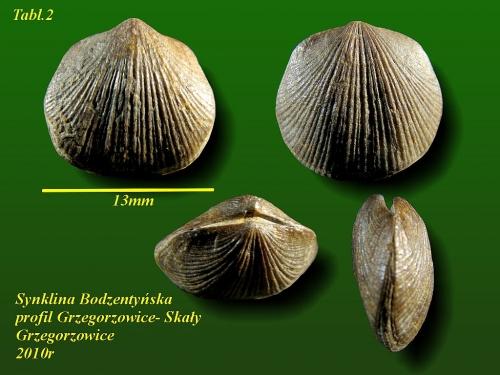 Aulacella prisca (Aulacella eifeliensis)(SCHNUR, 1851)- eifel wyższy