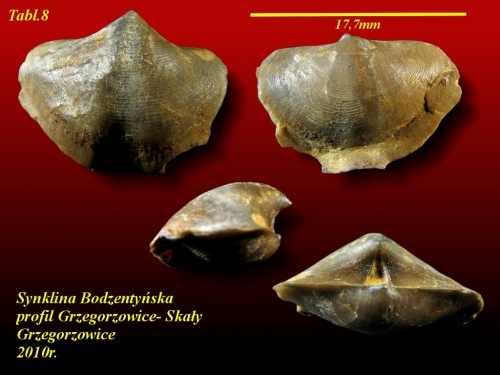 Eoreticularia aviceps (KAYSER, 1871)- eifel wyższy