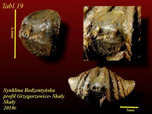 Deliella deliae HALAMSKI, 2004- eifel wyższy - Tabl.7 - na Eleutherokomma diluvianoides
