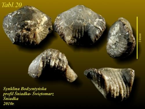 Septalaria sp. - żywet - Śniadka
