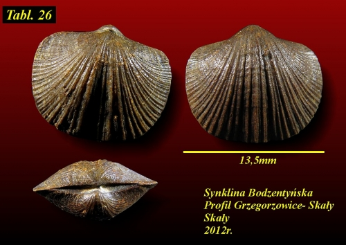 Tyersella canalicula (Schnur 1851) - eifel wyższy