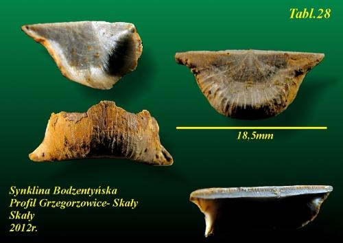 Parastrophonella anaglypha (Kayser 1871) - eifel wyższy