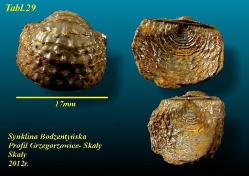 Poloniproductus varians (Biernat 1966) - eifel wyższy
