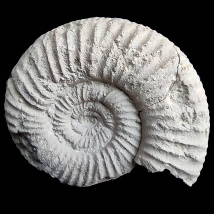Platysphinctes ovalis