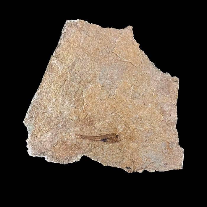 Vinciguerria sp.