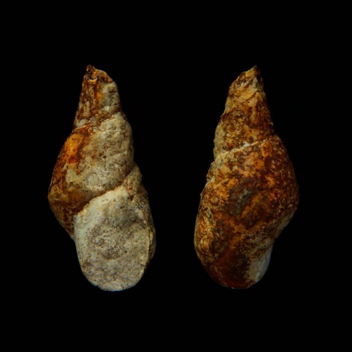 Subulites amphora
