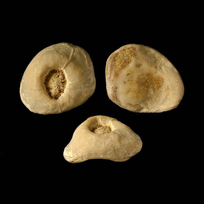 Schlotheimophyllum patellatum