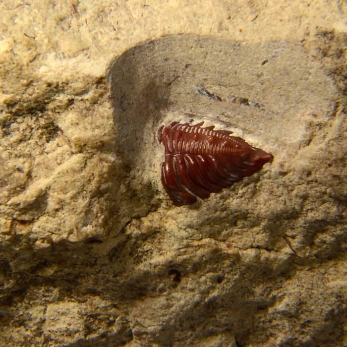 Encrinurus punctatus