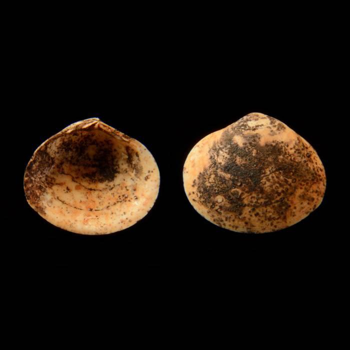 Isocyprina (Venericyprina) ovalis