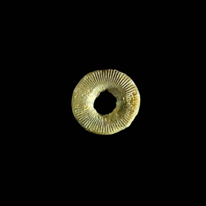 Liliowiec nieoznaczalny (Tantalocrinus scutellus nom. conf.)