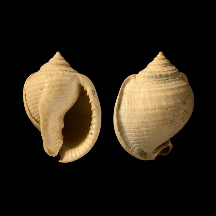 Semicassis grateloupi