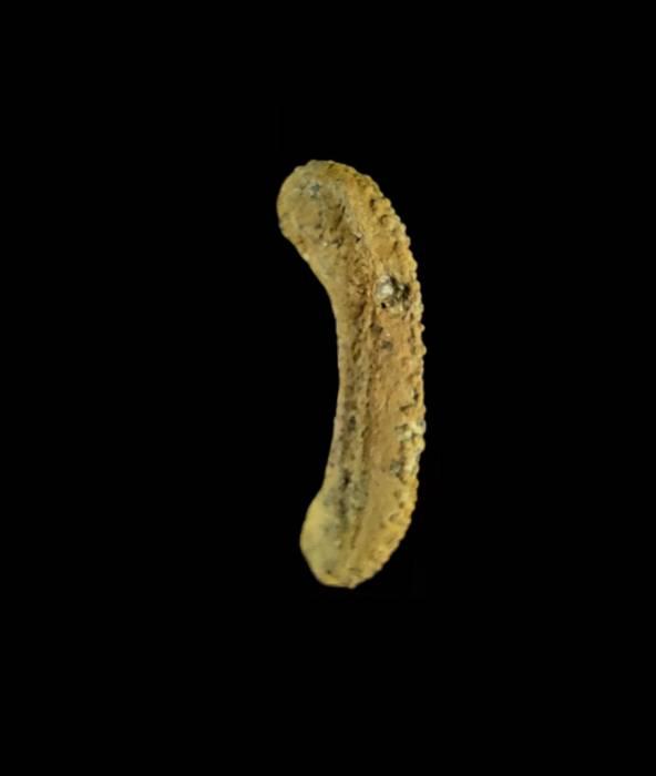 Ammonicrinus kongieli