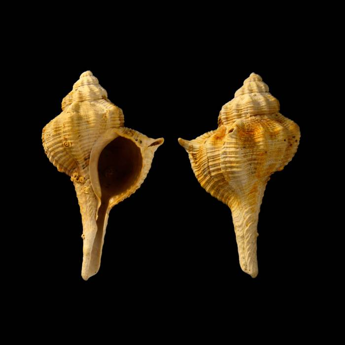 Bolinus submuticus