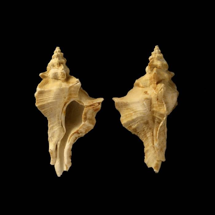 Pteropurpura delbosiana