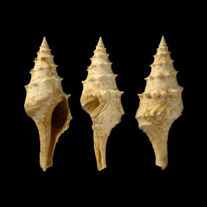 Clavatula francisci