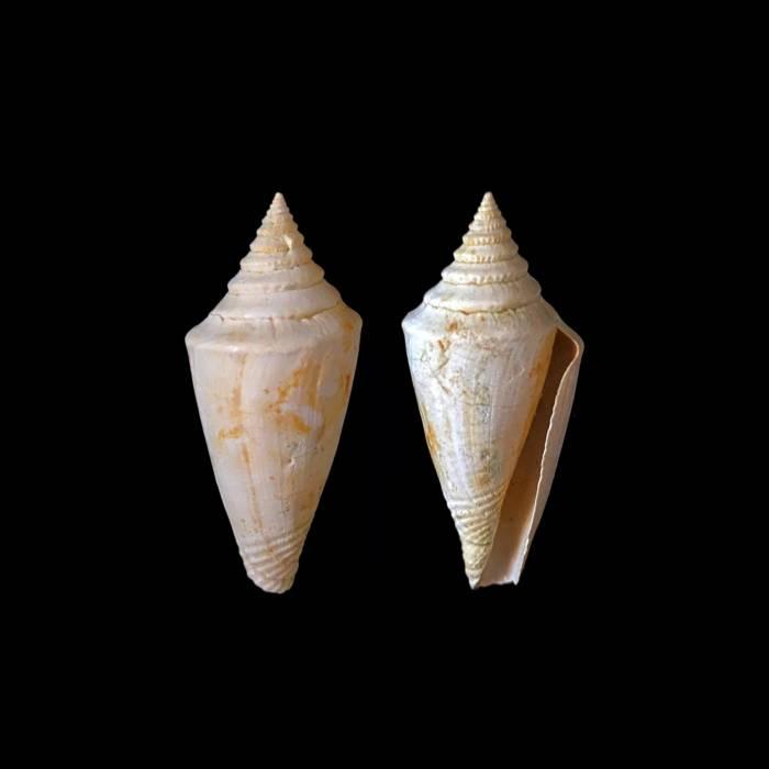 Conus dujardini