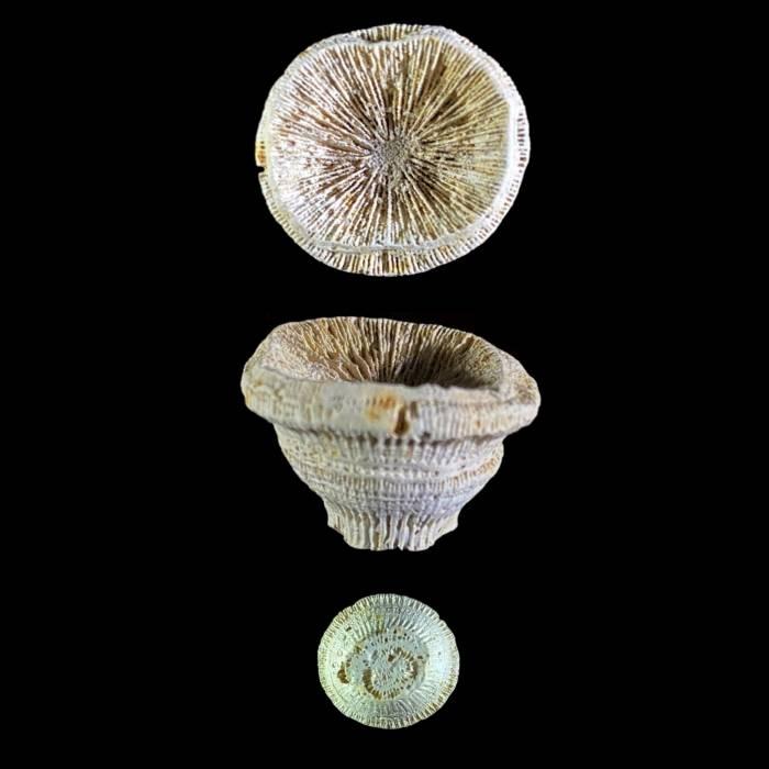 Trochosmilia corniculum