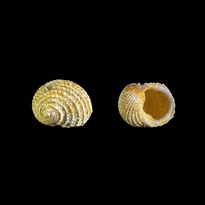 Neritopsis parisiensis raricostatus
