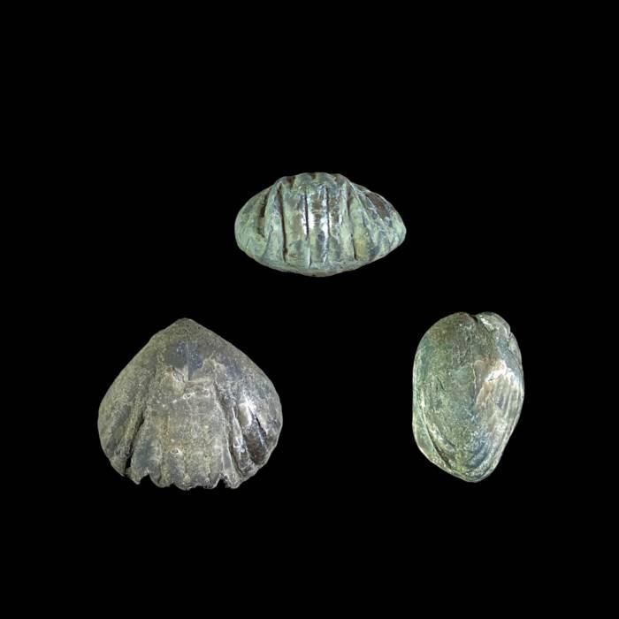 Sphaerirhynchia gibbosa