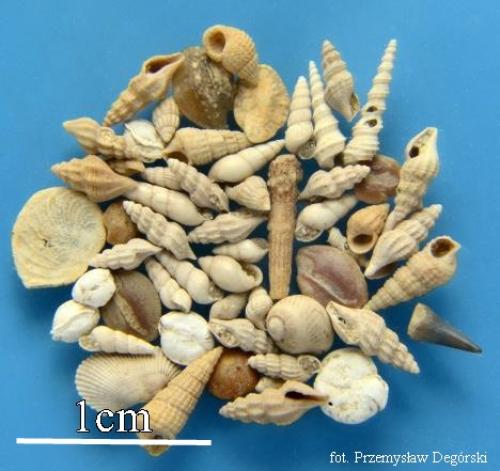 Zbiór skamieniałości, głównie mięczaków
