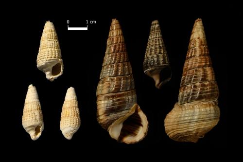 Inkluzja - Klub Miłośników Skamieniałości. Terebralia bidentata, Terebralia palustris