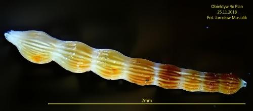 Otwornica bentoniczna - paleogen - Nasiłów
