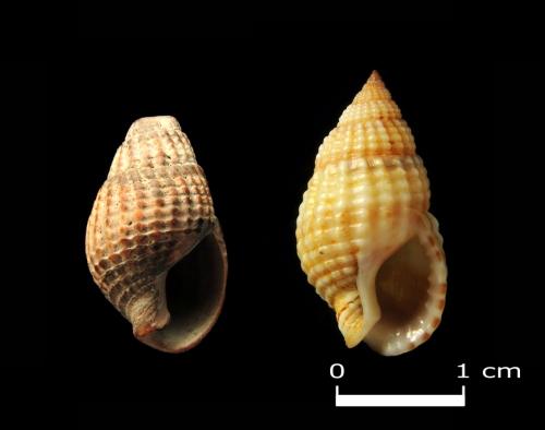 Kopalny okaz Nassarius reticulatus (Linnaeus, 1758) wys. 1,6 cm z interglacjału eemskiego znaleziony na Wyspie Sobieszewskiej, po prawej dla porównania okaz wspólczesny z Morza Czarnego.