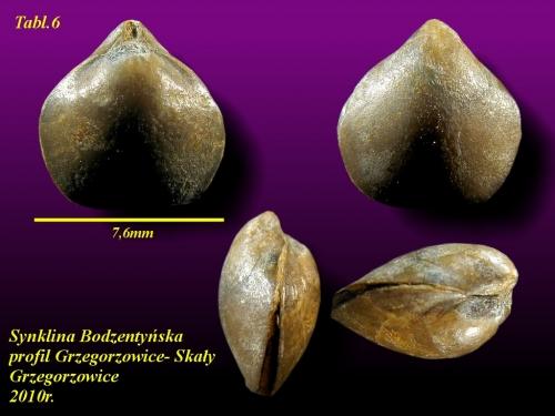 Peratos minor (Cryptatrypa philomela minor)BIERNAT, 1966 - eifel wyższy