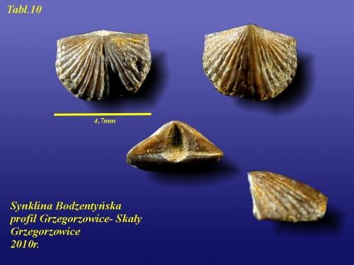 Skenidioides polonicus (GURICH, 1896)- eifel wyższy