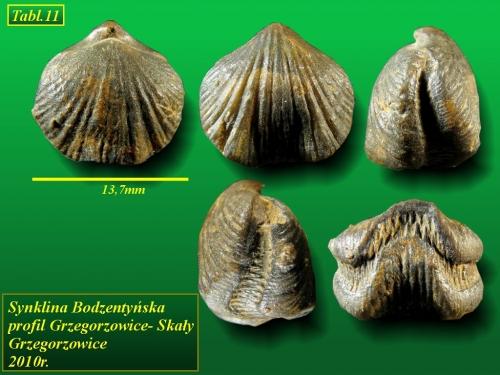 Primipilaria primipilaris (Uncinulus primipilaris)(BUCH, 1834) - eifel wyższy