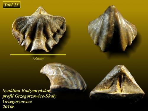 Cyrtina heteroclita intermedia (Cyrtina intermedia)(OEHLERT, 1886) - eifel wyższy