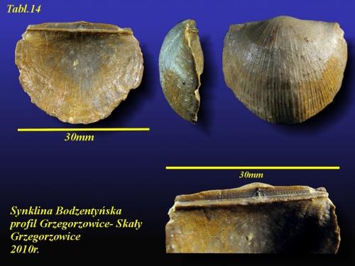 Douvillina interstrialis (PHILLIPS, 1841)- eifel wyższy