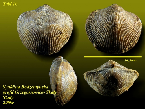 Desquamatia subzonata BIERNAT, 1964- eifel wyższy