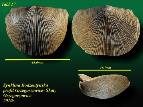 Xystostrophia umbraculum (Schellwienella umbraculum)(SCHLOTHEIM, 1820) - eifel wyższy