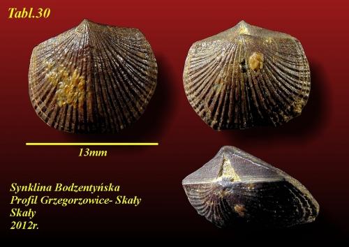 Phragmophora schnuri Cooper, 1955 - eifel wyższy