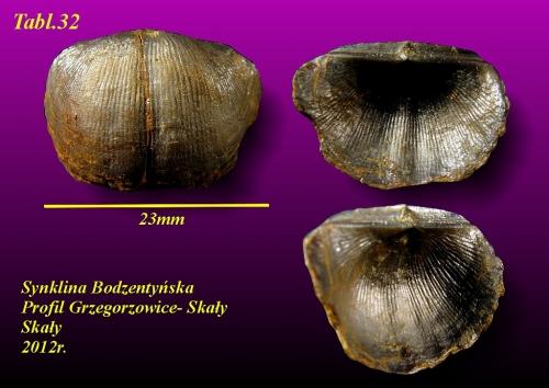 Dagnachonetes supragibbosus (Sobolew 1909) - eifel wyższy