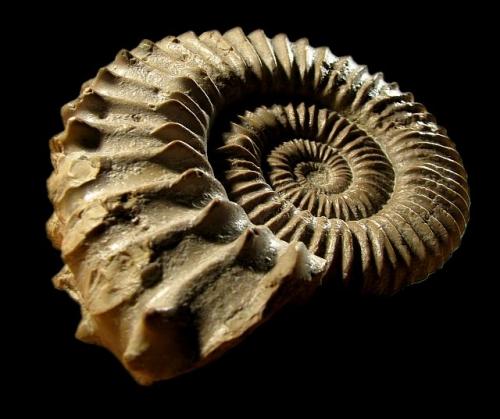 Amonit z rodzaju Peltoceratoides