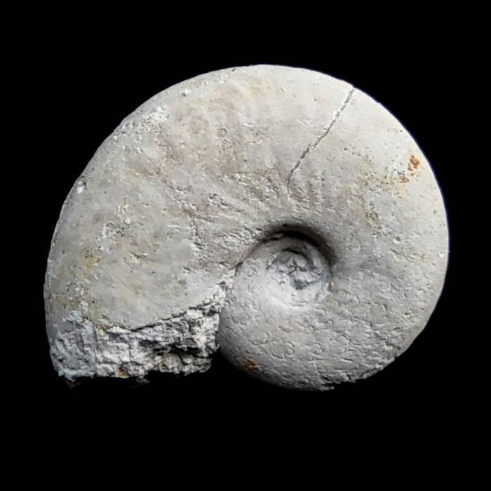 Pseudolissoceras planiusculum