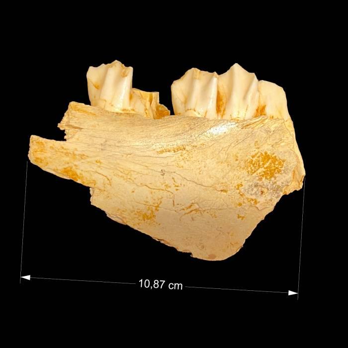 Megaloceros sp.