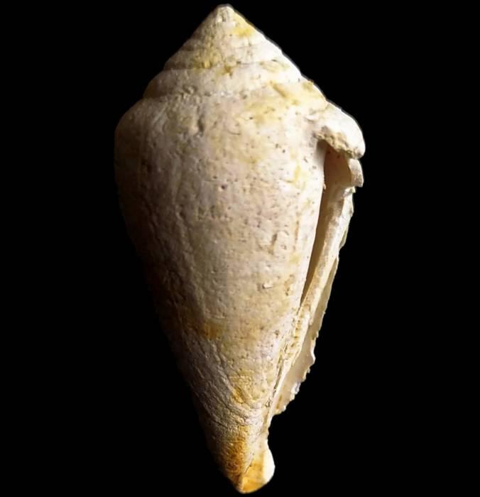 Conus ponderosus