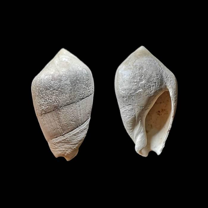 Ancilla glandiformis