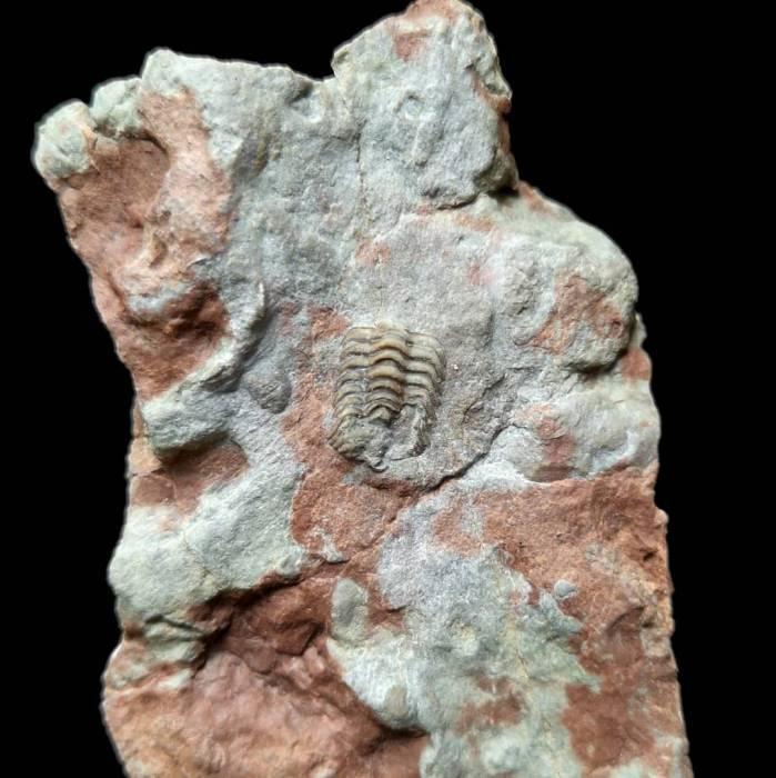 Trimerocephalus caecus