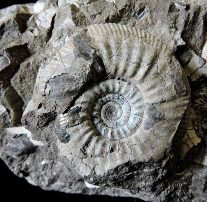 Amonit - Asphinctites tenuiplicatus