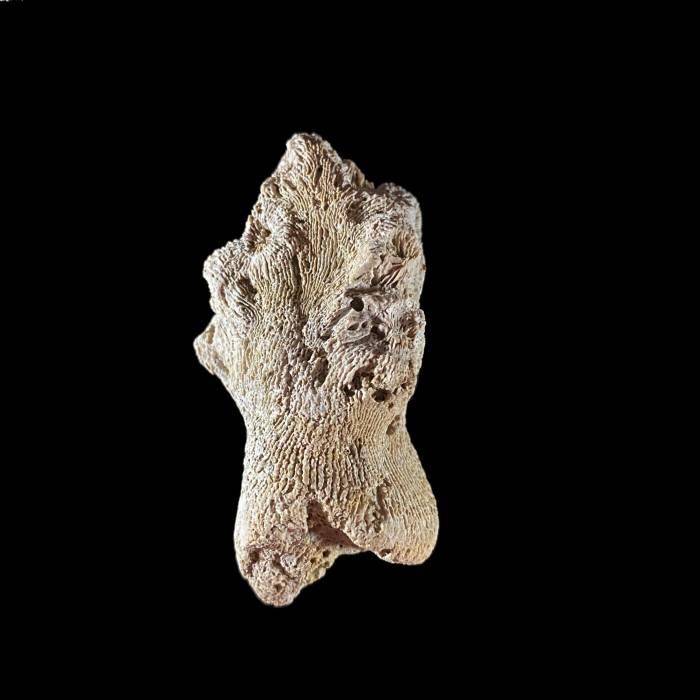 Dendrophyllia taurinensis