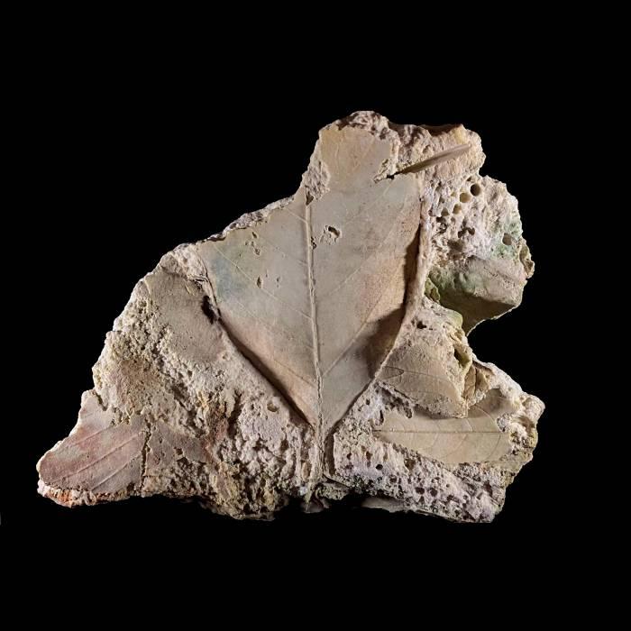 Alnus julianiformis