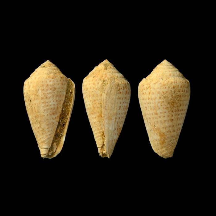 Conus pecchioli